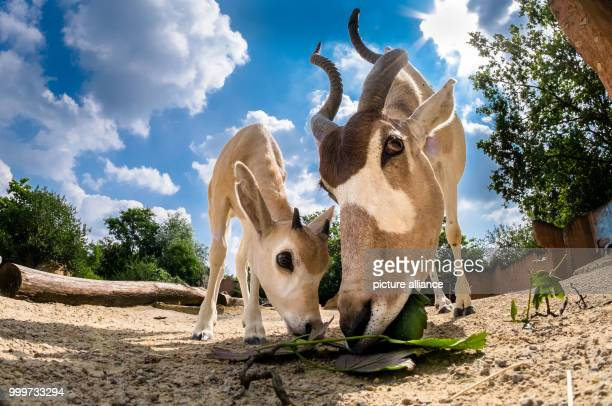 dpatop An addax also known as white antelope stands in her enclosure with her offspring at the zoo in Hanover Germany 16 August 2017 Only six Addax...