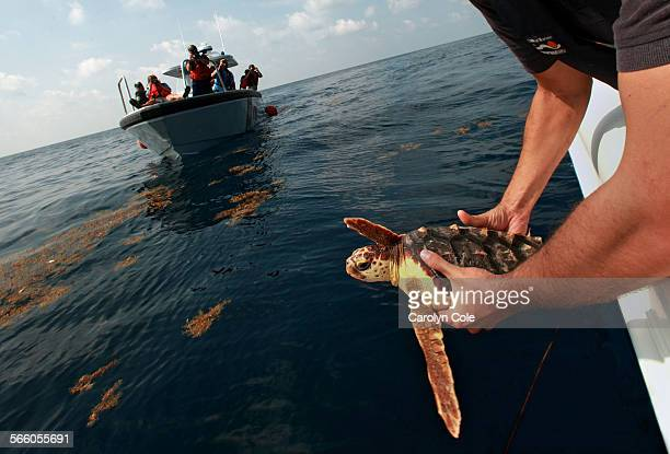 Dr Brian Stacy NOAA Fisheries Lead Sea Turtle Pathologist for the Deepwater Horizon Oil Spill release a green turtle into the Gulf of Mexico in...