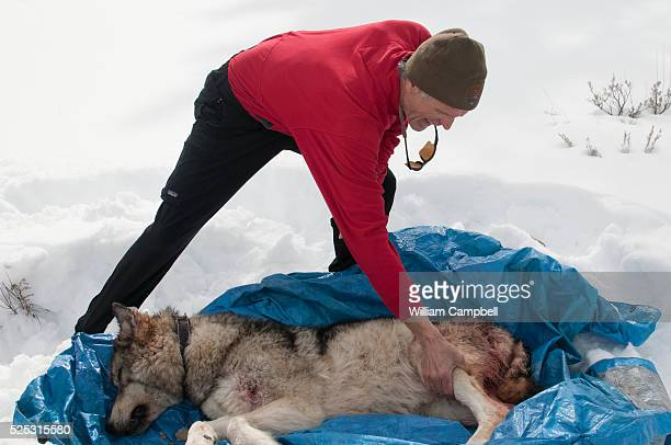Dr Douglas Smith leader of the Yellowstone Wolf Project in Yellowstone National Park inspects the body of female wolf 759 in Lamar Valley Wolf 759...