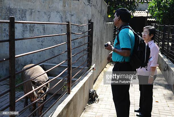 Dr Kevin Lazarus and Dr Liang Kaspe observe the Moluccan babirusa at Surabaya Zoo on May 13 2014 in Surabaya Indonesia South East Asian Zoos...