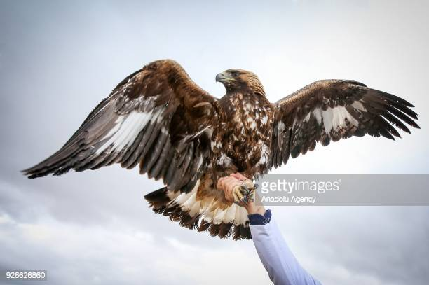 Dr Lokman Aslan who is the pioneer of Wildlife Rehabilitation Centre holds a hawk in Turkey's Van province on March 03 2018 Aslan helps wild animals...