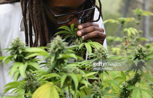 Dr Machel A Emanuel smells and analyses cannabis plants at the University of the West Indies Mona campus in Kingston Jamaica on May 18 2019 Ganja...