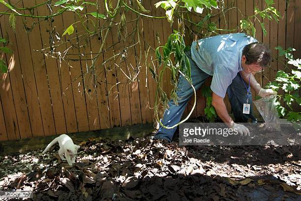 Dr Paul Skelley Florida Department of Agriculture looks for Giant African land snails as he works on eradicating a population of the invasive species...