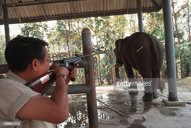 Dr Preecha Phuangkum uses a special rifle to fire a second tranquilizer dart into a bull elephant at the Elephant Hospital in Lampang Dr Preecha is a...