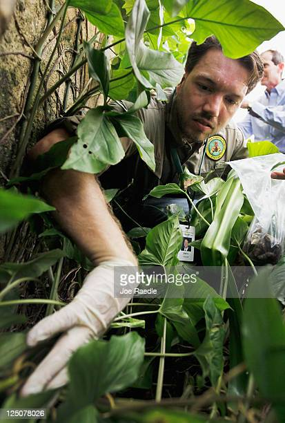 Dr Trevor Smith Florida Department of Agriculture looks for Giant African land snails as he works on eradicating a population of the invasive species...