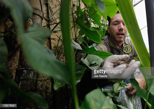 Dr Trevor Smith Florida Department of Agriculture picks up a Giant African land snail as he works on eradicating a population of the invasive species...