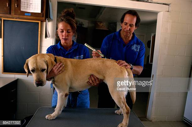 Dr William Farber a veterinarian who specializes in alternative medicine for animals performs acupuncture on a yellow lab with the help of his...
