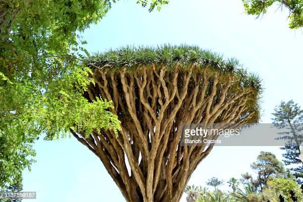 Dracaena draco tree in Cadiz
