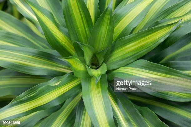 Dracaena fragans (Dracaena fragans), detail, Bora Bora Island, Society Islands, French Polynesia