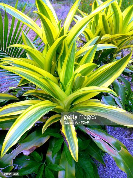 Dracaena plant growing at garden