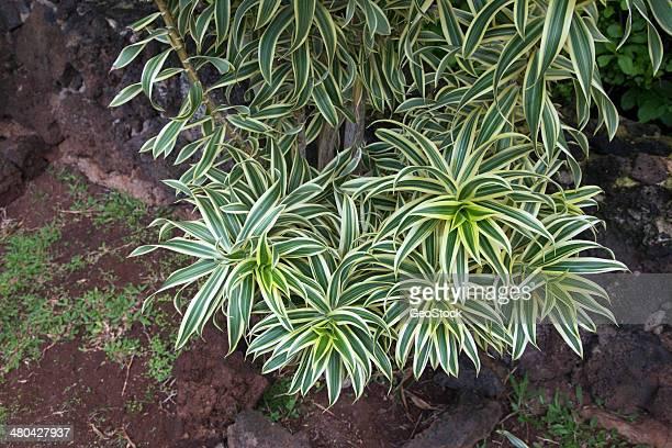 Dracaena Song Of India plant