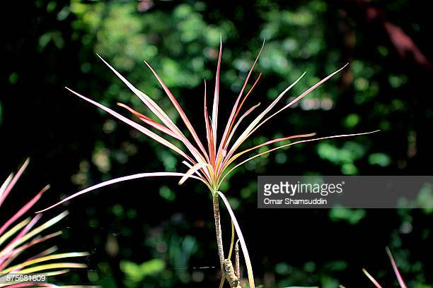 dracaenae marginata or dragon tree - omar shamsuddin stock pictures, royalty-free photos & images