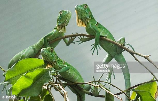Drachenphantasien Ð Kinderstube beim Grünen Leguan und bei der Segelechse im Zoo-Aquarium Berlin .Vom großen Grünen Leguan gibt es Kleine zu...