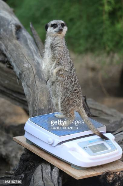 Dracula the meerkat is weighed on a scale during a photocall at London Zoo on August 22 to promote the zoo's annual weighin event