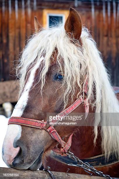 cheval de trait - accouplement cheval photos et images de collection