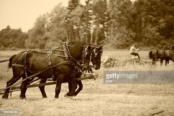 draft horses - sepia - shire horse stock pictures, royalty-free photos & images