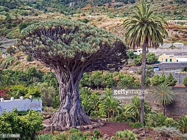Drago of Icod de los Vinos, Tenerife island