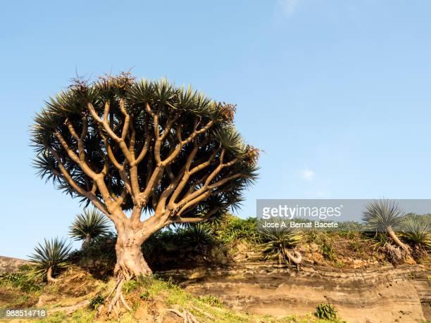 Drago tree-like plant (Dracaena draco) in Angra do Heroismo, on Terceira Island in the Azores, Portugal.