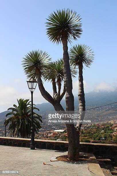 Drago tree-like plant in La Palma island, Canary islands