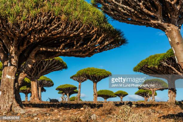 dragon blood trees growing in field - yemen stock pictures, royalty-free photos & images