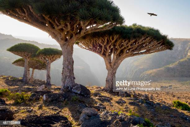 Dragon blood trees in rocky landscape, Homhil Protected Area, Socotra, Yemen