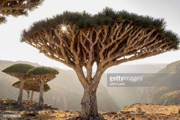 dragon blood trees on socotra island - john lund stock pictures, royalty-free photos & images