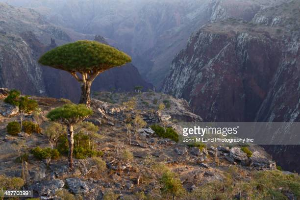 Dragon blood trees overlooking rocky landscape, Homhil Protected Area, Socotra, Yemen