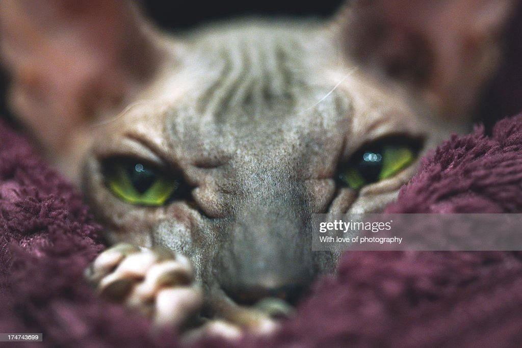 A close up portrait of a sphinx cat with amazing green eyes looking at camera from a purple blanket.