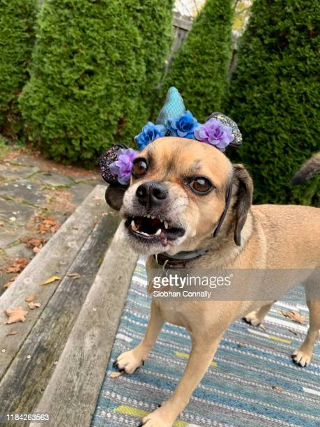 dragon dog - puggle stock pictures, royalty-free photos & images