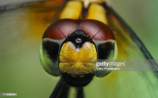 Dragon fly close up