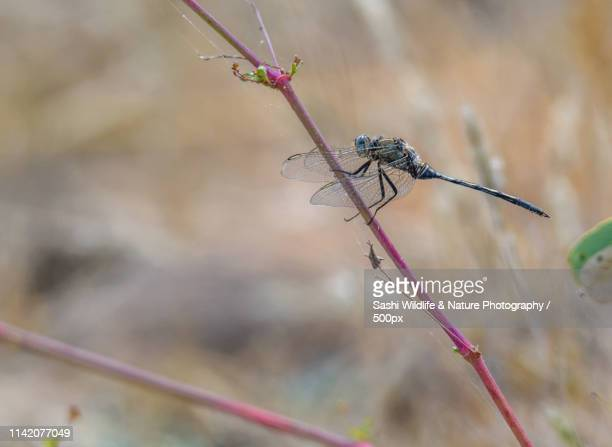 A Dragon Fly Perching