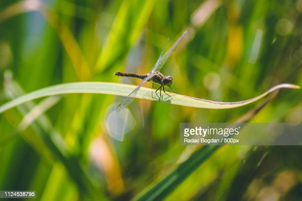 dragon fly - geometridae stock photos and pictures