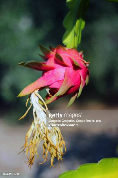 dragon fruit - gregoria gregoriou crowe fine art and creative photography stock-fotos und bilder