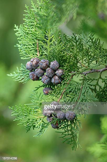 Dragon Juniper