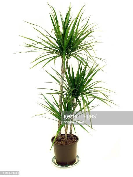 dragon tree (dracaena marginata) house plant - marginata stock pictures, royalty-free photos & images