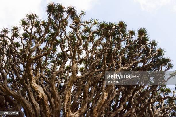 Dragon tree Icod de los Vinos Tenerife Canary Islands Spain
