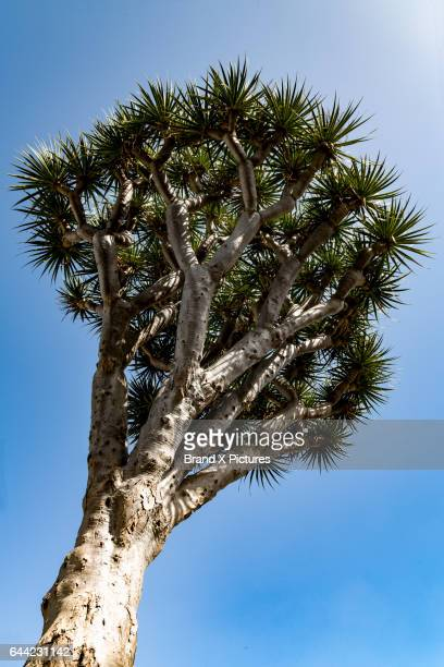 Dragon Tree in the small town of Teror