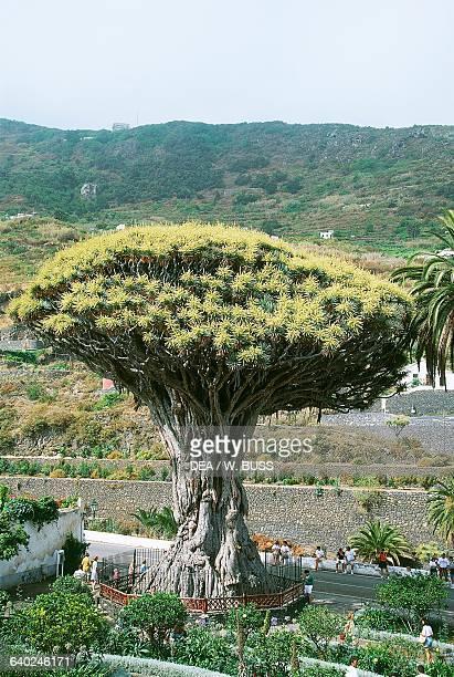 Dragon tree known as the Millennium Dragon Icod de los Vinos Tenerife Canary islands Spain