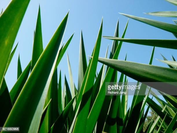 Dragon tree spiky leaves against blue sky