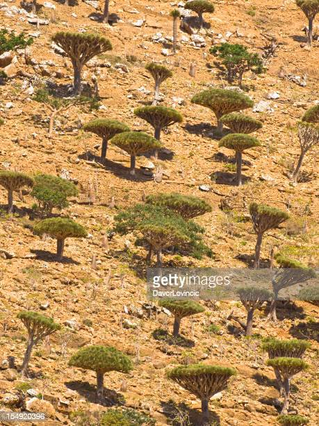 Dragon trees forest