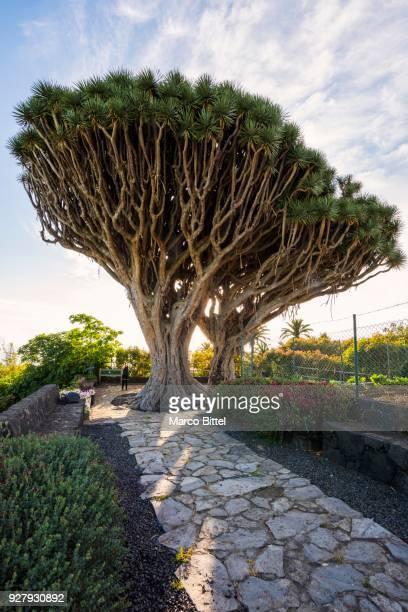 Dragon trees, (Dracaena) Pared Vieja Recreation Area, Brena Alta, La Palma, Canary Islands, Spain