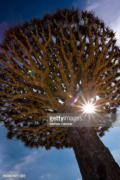 Dragonblood tree (Dracaena Cinnabari), sun in branches, low angle