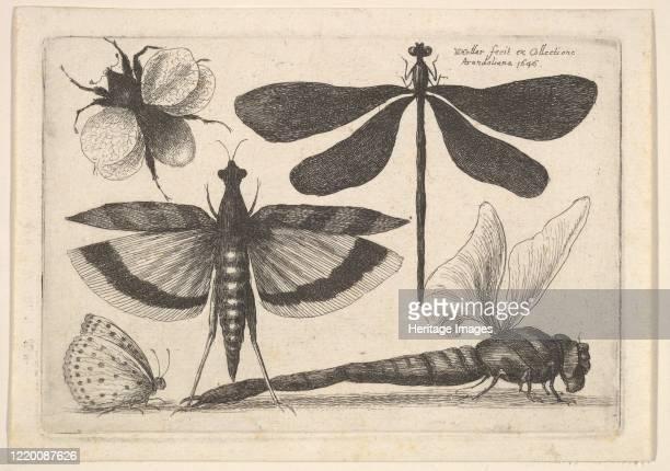 Dragonflies and a bumble bee, 1646. Artist Wenceslaus Hollar.