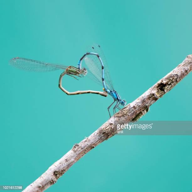 libellen bilden ein herz während der paarung - begattung kopulation paarung stock-fotos und bilder