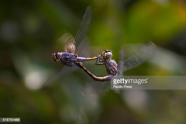 CINA KAMPAR RIAU INDONESIA Dragonflies mating with unique pose the male and female will each hook to form an interesting pose