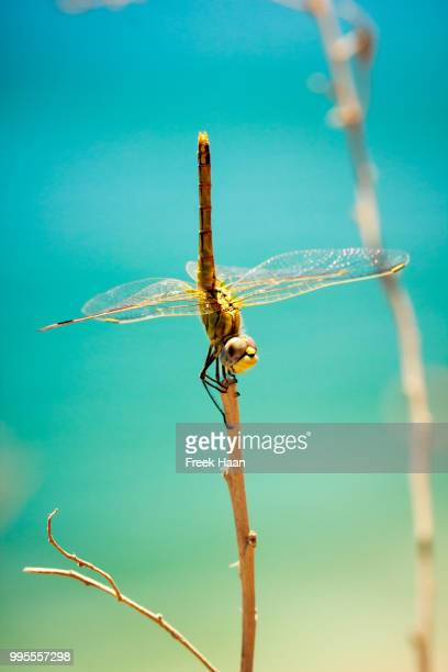 Dragonfly acting like a branche