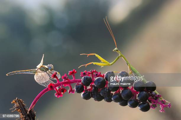 a dragonfly and a praying mantis on a berry laden plant. - fruit laden trees stock pictures, royalty-free photos & images