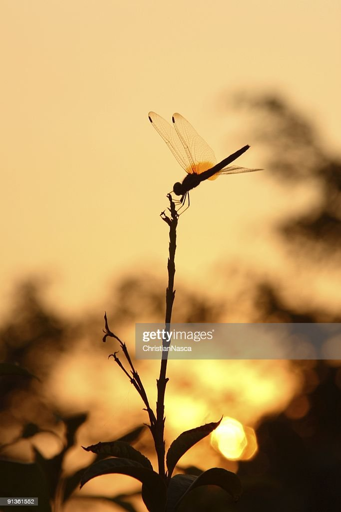 Dragonfly at Sunset : Stock Photo