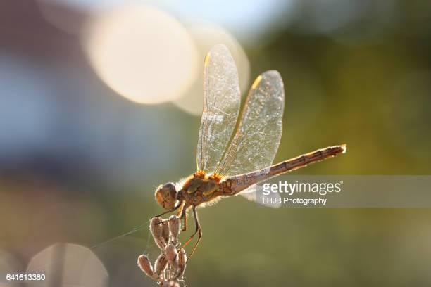 Dragonfly bathing in sunlight
