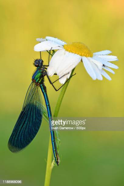 dragonfly climbing daisy flower - nature stock pictures, royalty-free photos & images